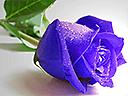 Сини рози пъзели